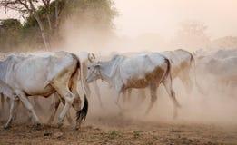 Cows going home in Bagan, Myanmar Stock Image