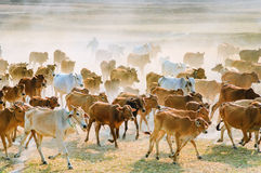 Cows going home in the dust at the end of day Royalty Free Stock Photography