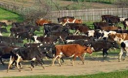 Cows going home Stock Photos