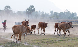 Cows going home at the end of day Stock Photography
