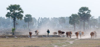 Cows going home at the end of day Stock Images