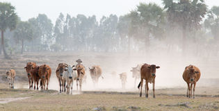 Cows going home at the end of day Royalty Free Stock Photo
