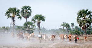 Cows going home at the end of day Stock Photos