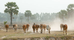 Cows going home at the end of day Royalty Free Stock Image