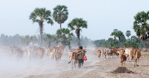 Cows going home at the end of day Royalty Free Stock Images