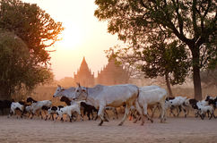 Cows going home at sunset in Bagan, Myanmar Stock Photo