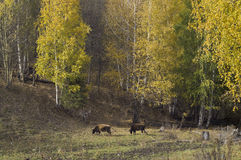 Cows in gold forest Stock Images