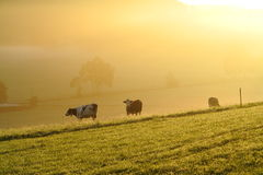 Cattle countryside by early-morning mist Royalty Free Stock Photo
