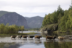 Cows gor across river Royalty Free Stock Image