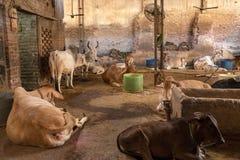 Cows in Goshala Stock Photo