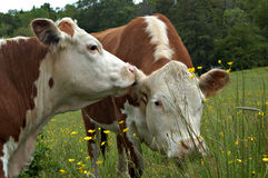 Cows gossiping. These two herford cows appear to be gossiping in this series of three images Stock Photos