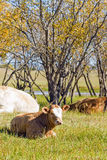 The cows on the grass royalty free stock image