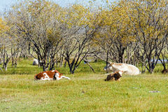The cows on the grass stock image