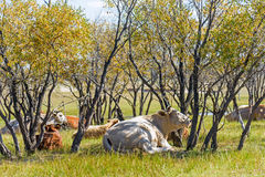 The cows on the grass Stock Photography