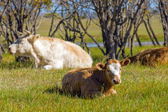 The cows on the grass Royalty Free Stock Photography