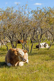 The cows on the grass royalty free stock photo