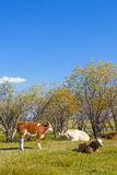 The cows on the grass royalty free stock images