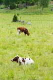 Cows on a Grass Field. A Brown and White Cow Lying in High Grass Stock Photography