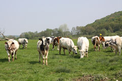 Cows on the grass Stock Photography
