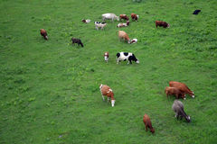 Cows on a grass. Cows walking on a grass field, shot from above Royalty Free Stock Photos