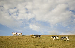Cows on grassland royalty free stock photography
