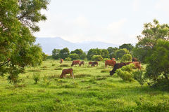 Cows in grassland Royalty Free Stock Image