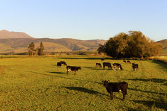 Cows in a grassland at early morning. With some mountain view,new zealand Royalty Free Stock Photo