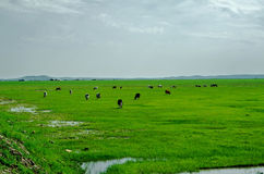 Cows on the grassland Royalty Free Stock Photography