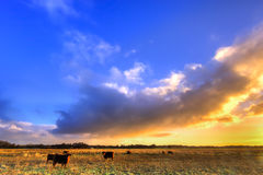 Cows in a grassland in morning light Royalty Free Stock Images