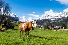 Cows in grassland, Wengen, Switzerland. May 12, 2017 - Wengen, Switzerland: Cows in grassland, owner lets them eat grasses as much as they want before milking Royalty Free Stock Images