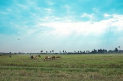 Cows in a grassy field on a bright and sunny day in Thailand.   Saturation style Stock Photography