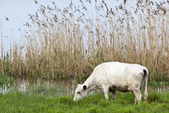 Cows graze. On a meadow at the lake Stock Images