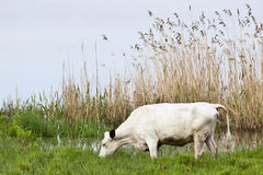 Cows graze. On a meadow at the lake Royalty Free Stock Photography
