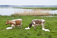 Cows graze. On a meadow at the lake Royalty Free Stock Image