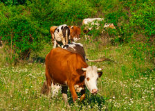 Cows graze Royalty Free Stock Photos