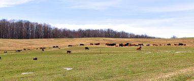 Cows Graze Across The Landscaped Pasture Royalty Free Stock Images