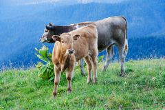 Cows graze on alpine meadows Stock Images