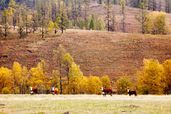 Cows graze in the autumn in Altai Royalty Free Stock Image