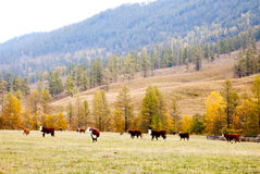 Cows graze in the autumn in Altai Stock Image