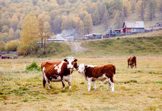 Cows graze in the autumn in Altai Stock Photography