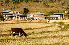 Cows graze on the Bhutan mountain. Cows graze in the mountains near a small rural village Stock Photos