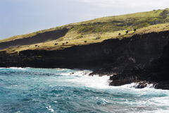 Cows Graze on Black Cliffs in Hawaii royalty free stock image