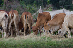 Cows graze on a farm. Big Cows graze on a farm Royalty Free Stock Photography