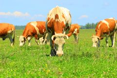 Cows in graze. Cows graze on farm in Nature park Lonjsko polje, Croatia Royalty Free Stock Photo