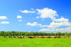 Cows in graze. Cows graze on farm in Nature park Lonjsko polje, Croatia Stock Photos