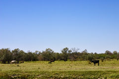 Cows graze in the field. In the sun day of summer Stock Photos