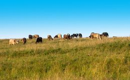 Cows graze in the field. Royalty Free Stock Image