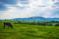 Cows graze in the field. Of Carpathian Mountains in Western Ukraine. Few haystacks in the right side of scene Royalty Free Stock Photos