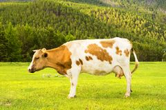 Cows graze in the field. Stock Photos