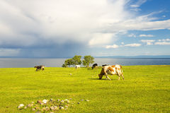 Cows graze in the field. Royalty Free Stock Photography